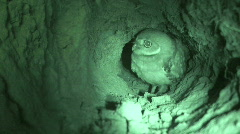Burrowing Owl in Burrow Stock Footage