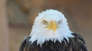 Eagle Stock Footage