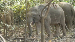 Borneo 20 Pygmee Elephants Stock Footage
