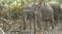 Borneo 20 Pygmee Elephants - stock footage