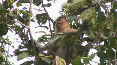 Borneo Proboscis Monkey 05 Stock Footage