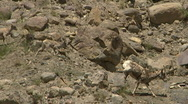 Stock Video Footage of Bighorn Sheep Yellowstone Desert 2 59.94
