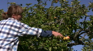 Stock Video Footage of Picking apples