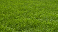 Rice plants waiving in the wind Stock Footage