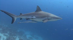 Grey Reef shark inspects camera - stock footage