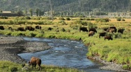 Stock Video Footage of Herd of Buffalo next to River in Yellowstone