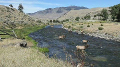 Elk Herd Drinking from Yellowstone River Stock Footage