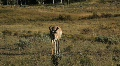 Pronghorn Walking in Yellowstone National Park  Footage