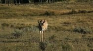 Pronghorn Walking in Yellowstone National Park  Stock Footage