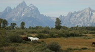 Stock Video Footage of Herd of Horses with Mountain Range in Wyoming