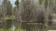 Stock Video Footage of Beaver in Lake Moving Wood to Construct Dam