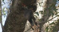 Stock Video Footage of Pileated Woodpecker pecking limb for insects clip 3