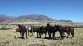 Herd of Horses Gathered Near Mountain Range Footage
