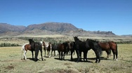 Stock Video Footage of Herd of Horses Gathered Near Mountain Range