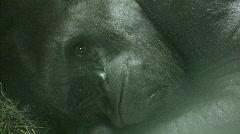 Stock Video Footage of Silverback Gorilla Yawning