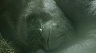 Silverback Gorilla Yawning Stock Footage