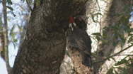 Pileated Woodpecker pecking limb for insects clip 2 Stock Footage