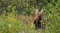 Female Moose Resting in Meadow Footage