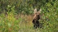 Stock Video Footage of Female Moose Resting in Meadow