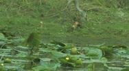Sandhill Crane with baby crane chicks clip 6 Stock Footage