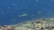 Sharks with bright colorful fish Stock Footage