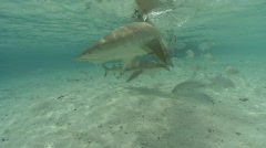 Sharks feeding in the shallows Stock Footage