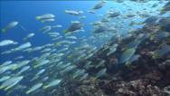 Thousands of spawning Parrotfish swimming towards camera Stock Footage