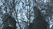 Hawks on trees looking for prey - low light Stock Footage