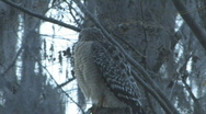 Hawk on tree limb looking for prey - low light Stock Footage