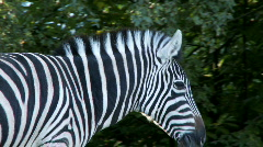Zebra  Stock Footage