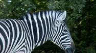 Stock Video Footage of zebra