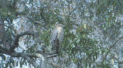 Hawk on tree limb looking for prey clip 4 Stock Footage