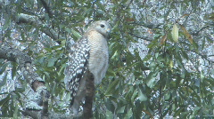 Hawk on tree limb looking for prey clip 3 Stock Footage