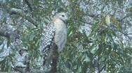 Hawk on tree limb looking for prey clip 3 Stock Footage