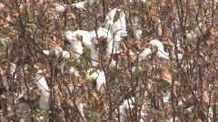 dried cotton Stock Footage