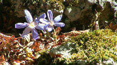 Two autumn crocus. Most of their pollinating bees Stock Footage