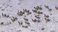 Stock Video Footage of Elk Herd Winter Aerial Slomo 29.97