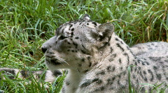 Snow leopard Stock Footage