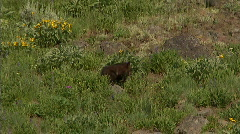 Grizzly Bear Cub 6 59.94 Stock Footage