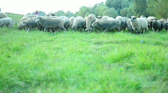 Moving sheeps Stock Footage