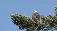 Stock Video Footage of Bald Eagle on Tree Branch 3