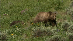 Grizzly Sow and Cubs 22 59.94 Stock Footage