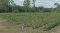 Blueberry farm in North Central Florida panning right clip 5 HD Footage