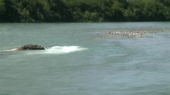 River and waterfall, river and seagulls on gravel bar, time-lapse Stock Footage