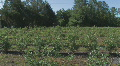 Blueberry farm in North Central Florida panning right HD Footage