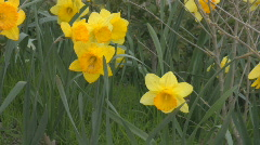 Several daffodils swaying in the wind Stock Footage