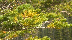 Tree branch fir, close up Stock Footage