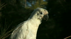 Close up of white cockatoo sitting on a branch Stock Footage