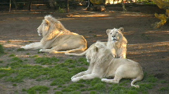 Three white lions lying on the grass Stock Footage
