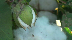 Cotton Boll Stock Footage